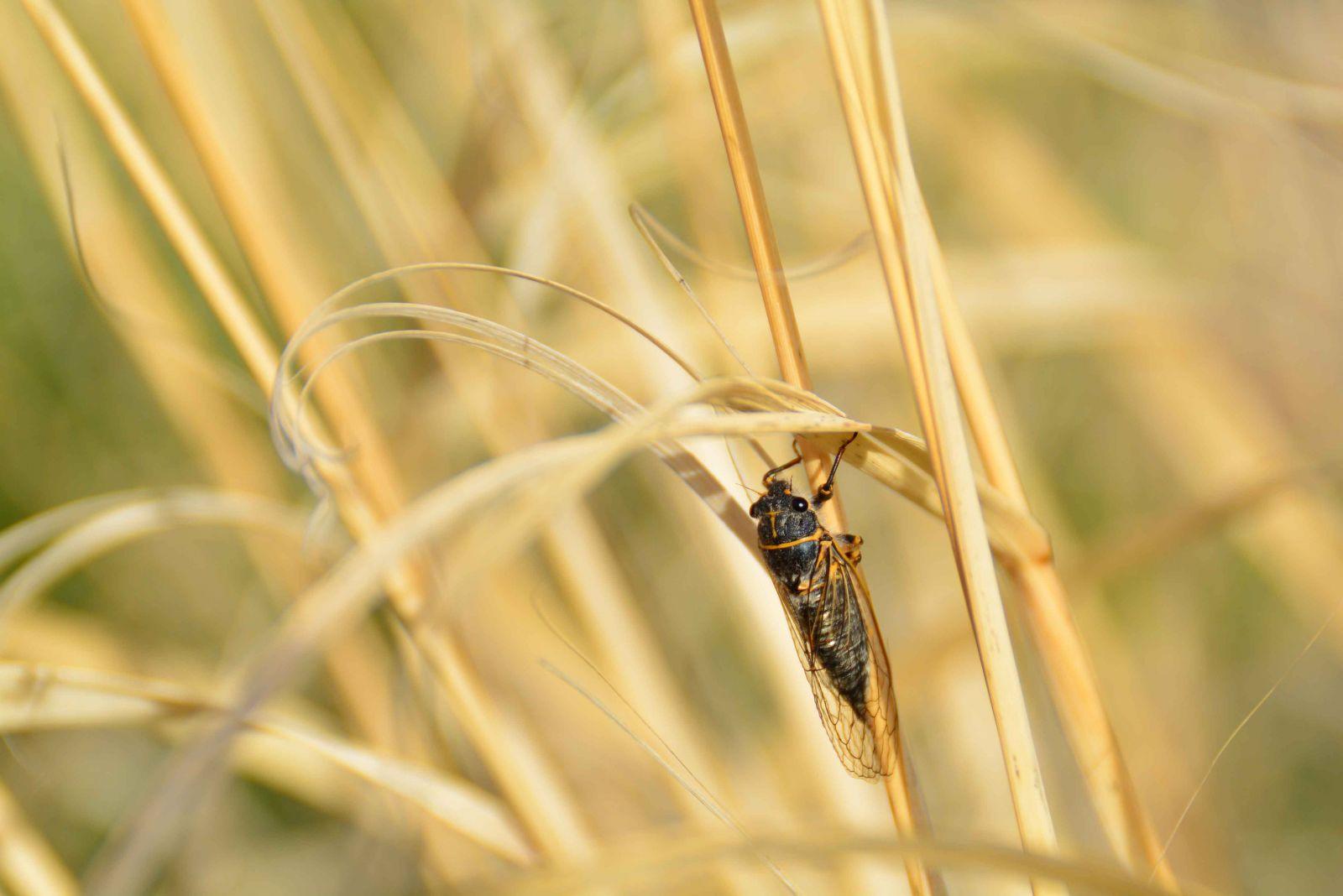 Green River Cicada