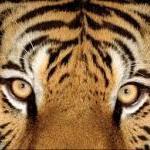 tigergorzow