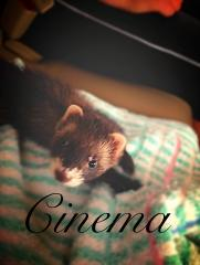 Baby Ferret Cinema